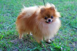 Pomeranian dámar væl at ganga túrar og skal hava fríska luft hvønn dag