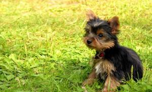 Yorkshire-Terrier-Puppies