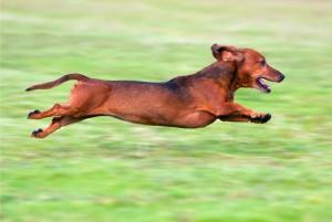Running-Dachshund_slider